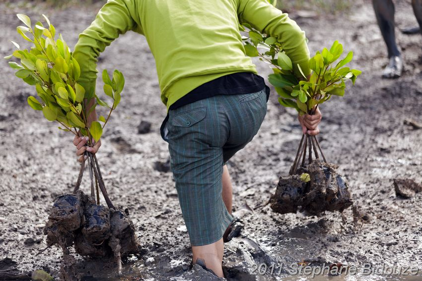 Plantations dans la mangrove