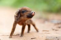 cochon-porcelet-mignon