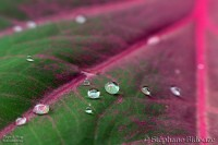 caladium-leaf-pink-drops