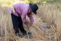 rice-farmer-tieing