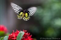 Troides- aeacus-golden- birdwing