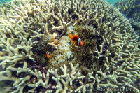 clown-poisson-coraux-mantigue-camiguin