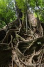 ficus-jungle-khao-sok
