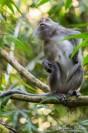 macaque-longue-queue
