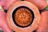 rafflesia-fleur-coeur-centre