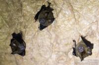 chauve-souris-grotte-thailande