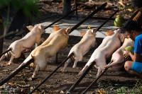 cochon-lait-coco-lechon-philippines