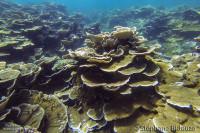 coraux-dur-champignon