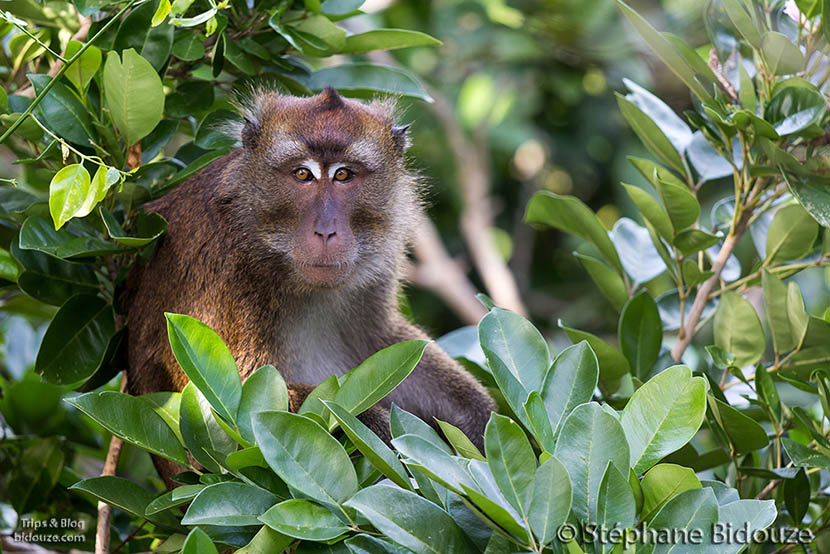 macaque-longue-queue-philippines10012014-_MG_4750