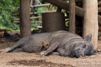 cochon-porc-thailande-village