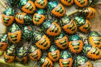 Scutelleridae-insecte