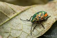 Scutelleridae-insecte-thailande