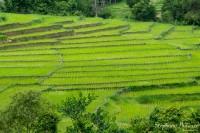 Mae-Klang-Luang-rice-field