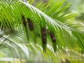 guêpes-nid-feuille-pelmier-thailande