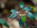 papillon-nuit-thailande-forêt