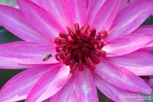 abeille-nénuphar-fleur
