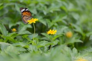 papillon- Danaus-Genutia