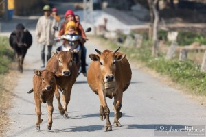 vaches-courant-vietnam-village