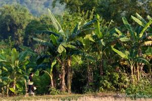 bananiers-mai-chau-vietnam