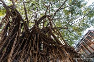 bangkok-figuier-ficus-arbre