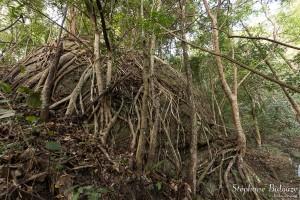 ficus, racines