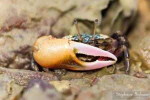 crabe-violoniste-thailande