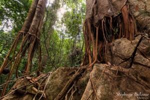 racine-ficus-thailande