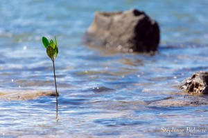 palétuvier-jeune-thailande-pousse