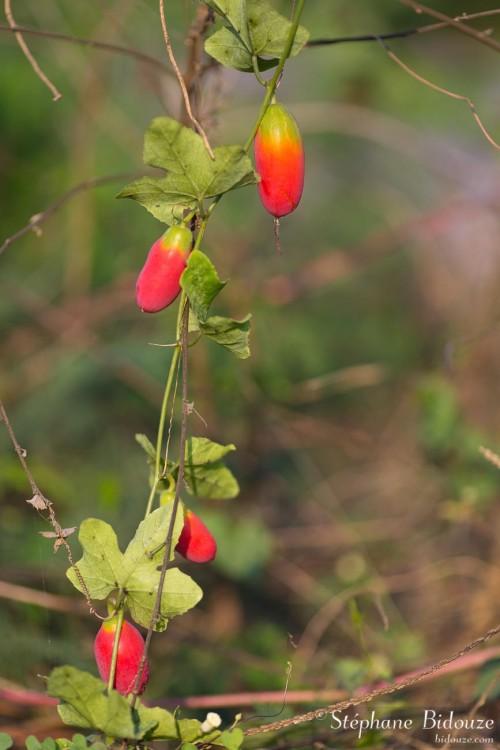 fruit-passion-sauvage-kanchanaburi