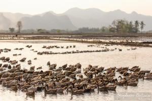 elevage-canard-thailande-kanchanaburi